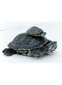 Sticker prénom gamelle tortue
